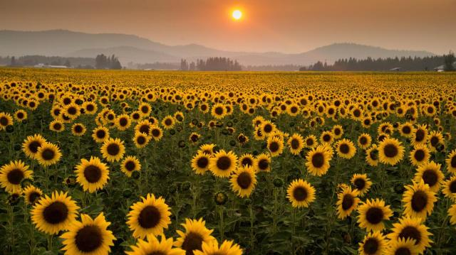 SRX_SUNFLOWERS_4_t1140