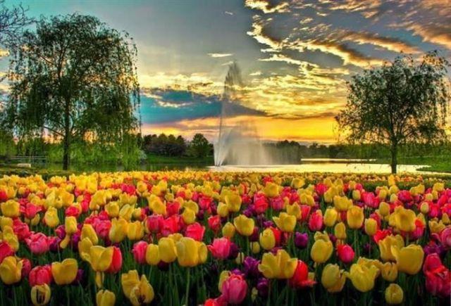 gardentulips