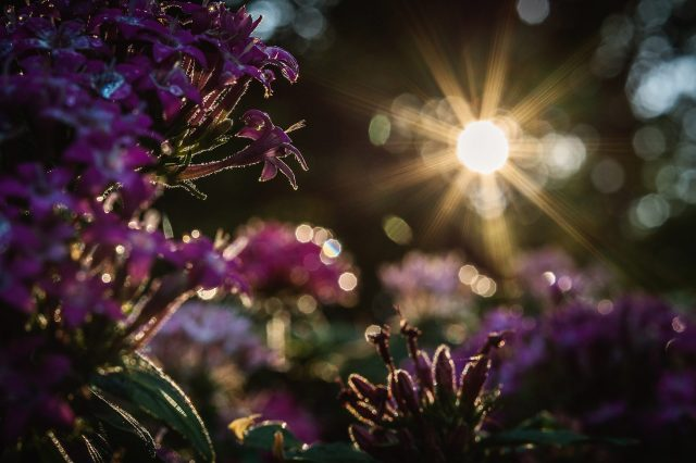 purple-flowers-and-morning-sun-1960x1307