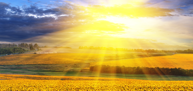 Sunshine-over-field-of-sunflowers